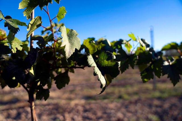 Grape vines growing at Carter Creek Resort and Spa